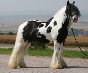 caballo Gypsy Vanner