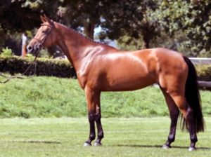 caballo Belga (BWP)