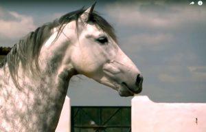 caballo pura sangre Español