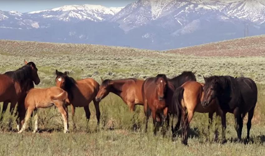 Caballos salvajes; el Mustang Americano