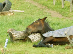 como duermen los caballos parados