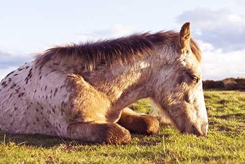 cuándo y cómo duermen los caballos