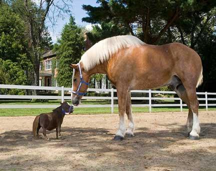 el caballo mas pequeño del mundo