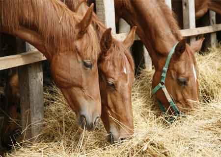 ¿Cómo se alimentan los caballos?