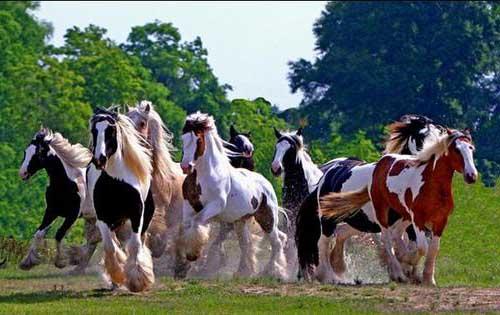 manada de caballos corriendo