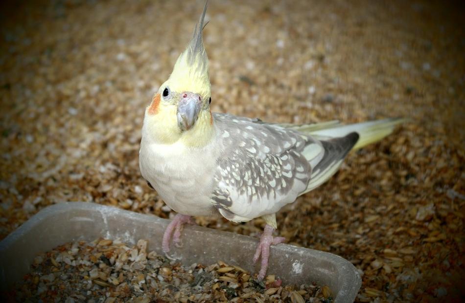 Cacatúa perla pied comiendo mezclas de semillas