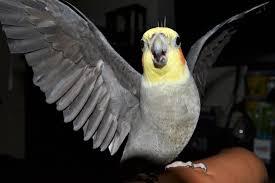 Cockatiel estirando las alas