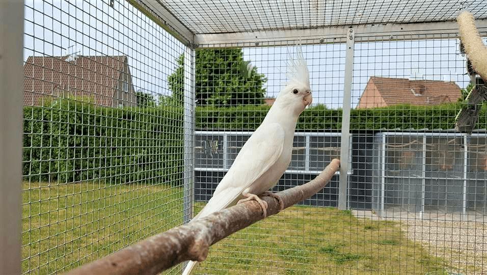 ninfa hembra raza albina
